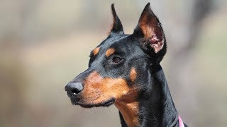 Doberman Pinscher Training  Environmental Socialization and Obedience Under Distraction