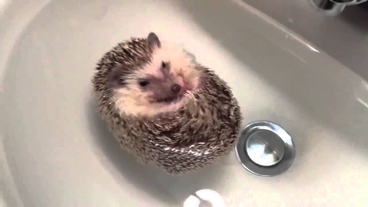 Hedgehog Swimming - YouTube