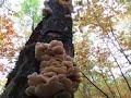 Wild Oyster Mushrooms motherlode
