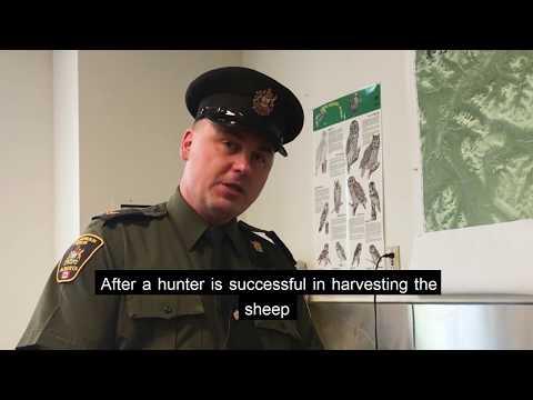 Big Horn Sheep Hunting – Alberta Fish And Wildlife Enforcement