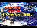【海水水槽】インドネシア産ブリードサンゴ購入