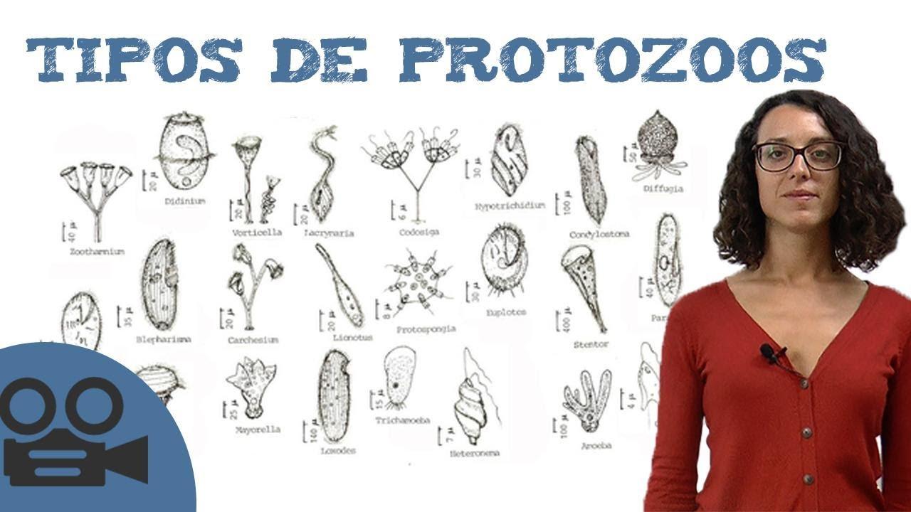 cuales son los protozoos mas conocidos