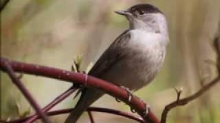Голоса птиц -Славка-черноголовка (Sylvia atricapilla)