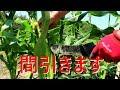 トウモロコシのお世話(2/3)/倒伏起こし・間引き・ヤングコーン【家庭菜園】