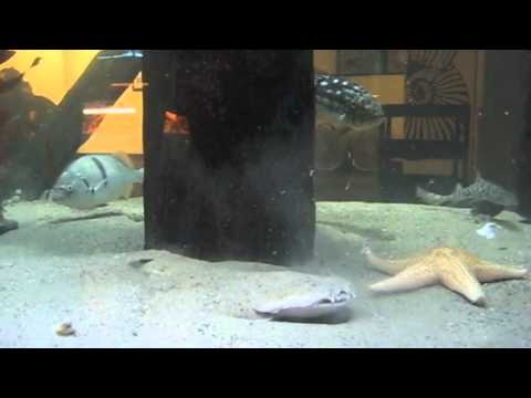 Angel Shark Feeding - Santa Monica Pier Aquarium