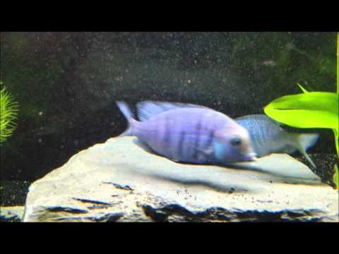 African Cichlid Fish Releasing Fry From Mouth Doovi