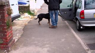 Training Rottweiler Cross Staffordshire Bull Terrier Greeting.