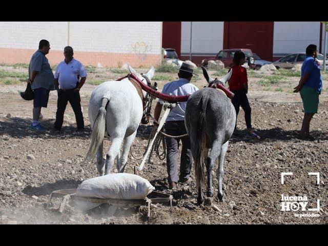 VÍDEO: La feria del ganado incluye por vez primera demostraciones de tareas tradicionales de labranza con mulos