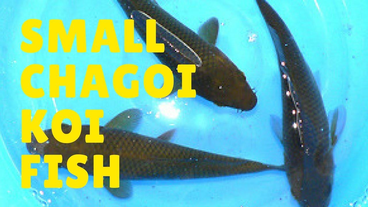 Koi fish varieties chagoi koi fish baby chagoi koi fish for Where can i buy koi fish