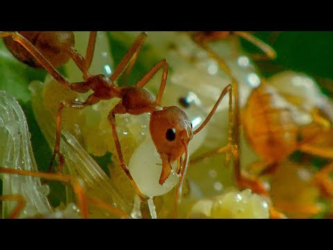 Ants in Agriculture | Earth Unplugged