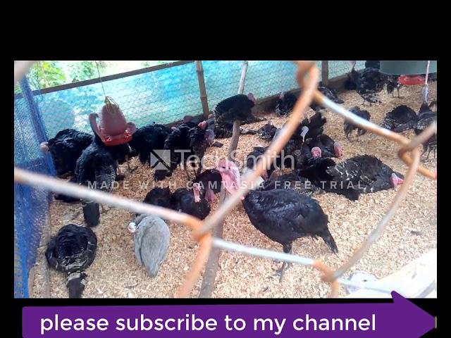 Turkey farm in Dhaka