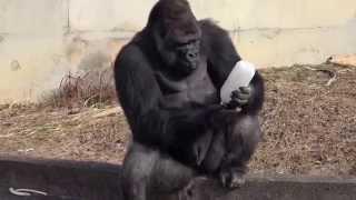 【大迫力】ゴリラのおもしろ動画 / 東山動物園【かわいい】 ゴリラって...