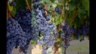 винный сорт винограда Болеро