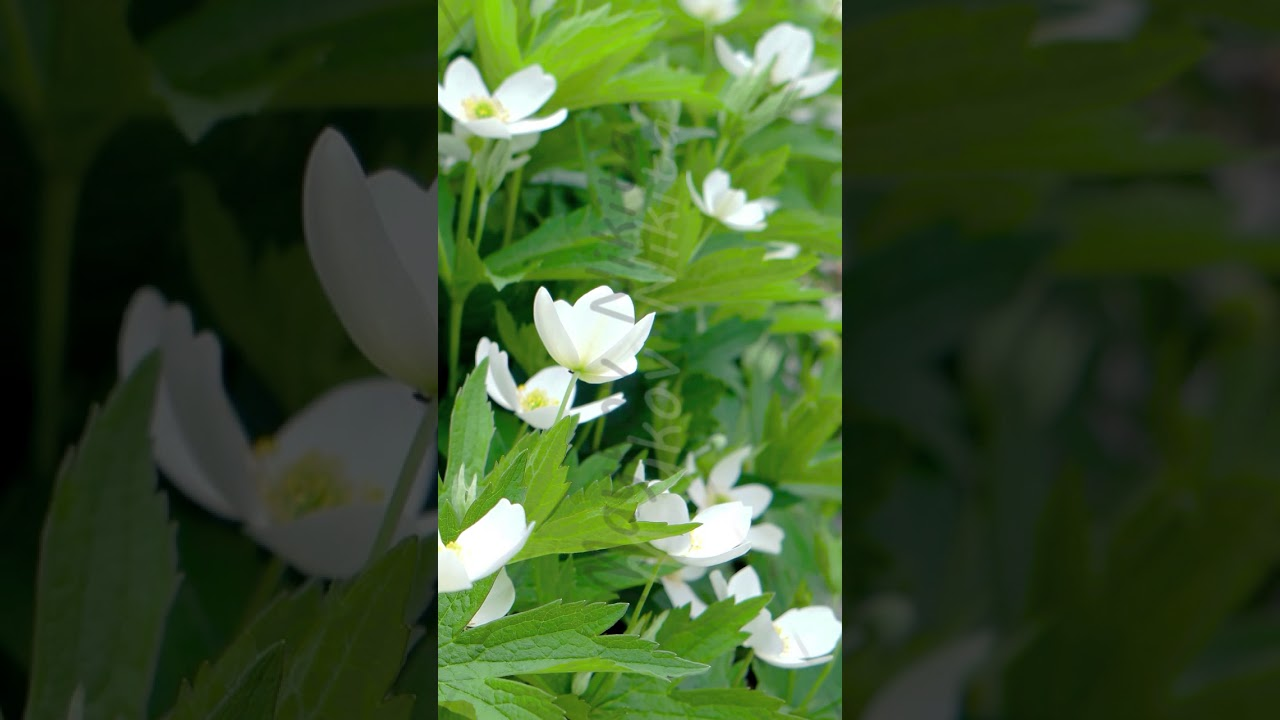 Vertical Video Small White Flowers With A Yellow Center Wood