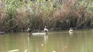 2016年秋、つくば実験植物園、水生植物の沼に住む鴨と風に吹かれる葦(その2)