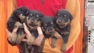 Evcililani.com Macar Rottweiler Yavrusu