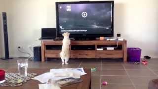 Hurley - Maltese Shih Tzu Pomeranian Vs Mouse