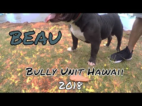 """Beau"" Bully Unit Hawaii (Crown Royal x Black Friday )--- Hawaiis Top Bully 2018 Male"