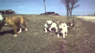 Bulldog Lovers - ViYoutube com