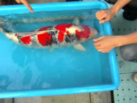 Koi fish the best jumbo koi japan 2010 youtube for Large koi fish