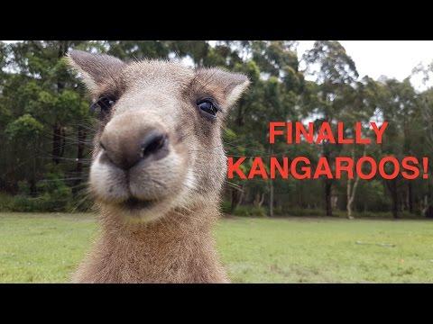 Kangaroos Near To Sydney I FINALLY MEET THEM! (Morriset Park)
