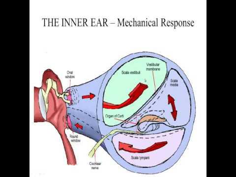 CDIS 4037 Inner Ear Physiology