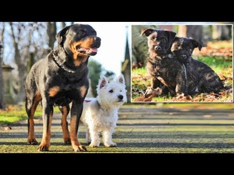 Westie and a Rottweiler mate to make Wottie puppies