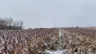 Pheasant Hunting in South Dakota with English Springer Spaniels