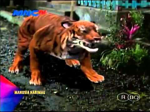 Manusia Harimau Episode 109 Full   26 Desember 2014 #ManusiaHarimau