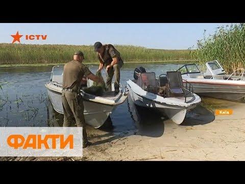 Вопрос: Почему в период нереста рыбы теряют бдительность?