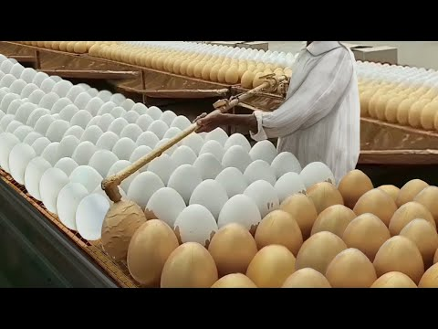 Intelligent Technology Of Egg Collecting Egg Processing Machine