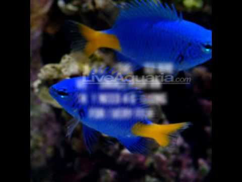Yellowtail Damselfish Quickly Care Guide