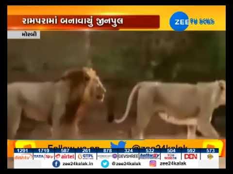 Morbi: Rampara Wildlife Sanctuary conserves Asiatic lions through gene pool - Zee 24 Kalak