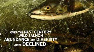 Wild Salmon of the Pacific