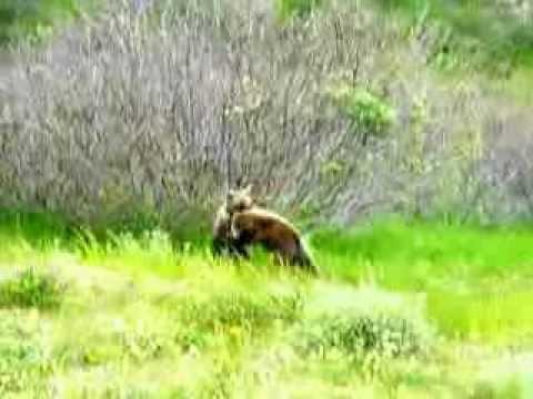 Grizzly Cubs Play Fighting in Tatshenshini-Alsek Park near the Yukon border.MOV
