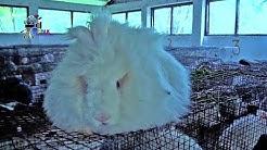 Angora Rabbit Breeding Farm || Processing of Wool, Shearing, Carding, Spinning & Weaving