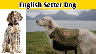 English Setter Dog #shorts
