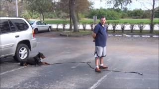 "Personal Protection Dog, Doberman ""troy"" K9 Enforcement Training"
