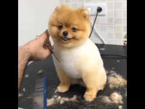 Dog Getting Hair Cut Smiling