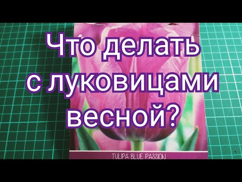 Нужен совет - луковицы тюльпанов весной. Сажать или не сажать?