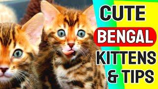 Bengal Cat | Bengal Kittens | Bengal | Do Bengal kittens shed?