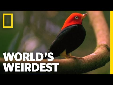 "Birds ""Moonwalk"" to Impress the Ladies 