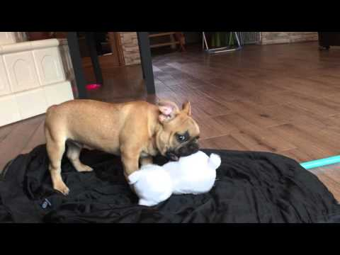 Geronimo - 3 months old French Bulldog Puppy For Sale