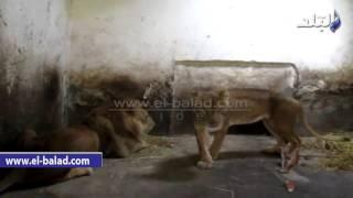 بالفيديو والصور.. 'زغلول' يعيش مأساة في حديقة حيوان الفيوم