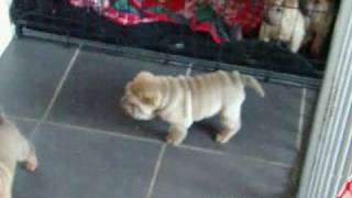 Shar Pei Puppies 4 Weeks Old Playing, This Litter Of Pups Is Available From 23rd November 09