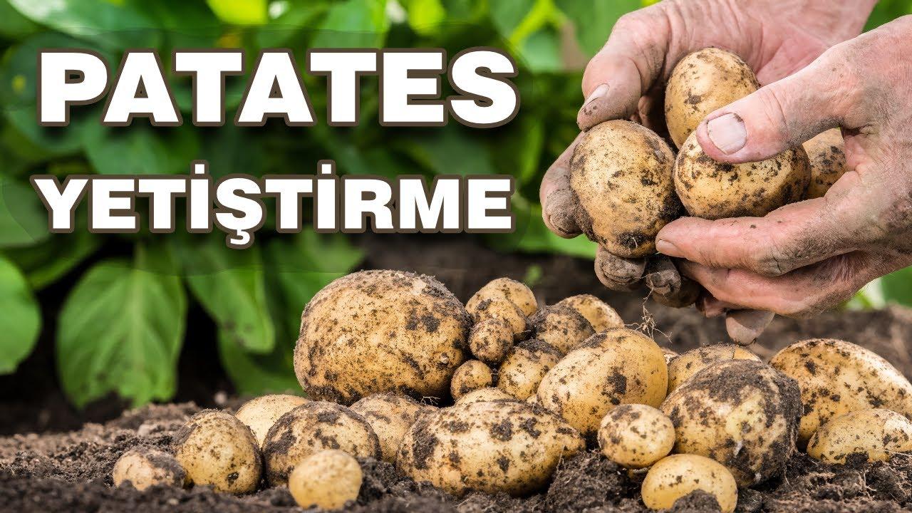 Patates Nasıl Ekilir? Bahçede Patates Nasıl Yetiştirilir?