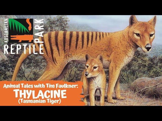 ANIMAL TALES WITH TIM FAULKNER | EPISODE 15 | THYLACINE