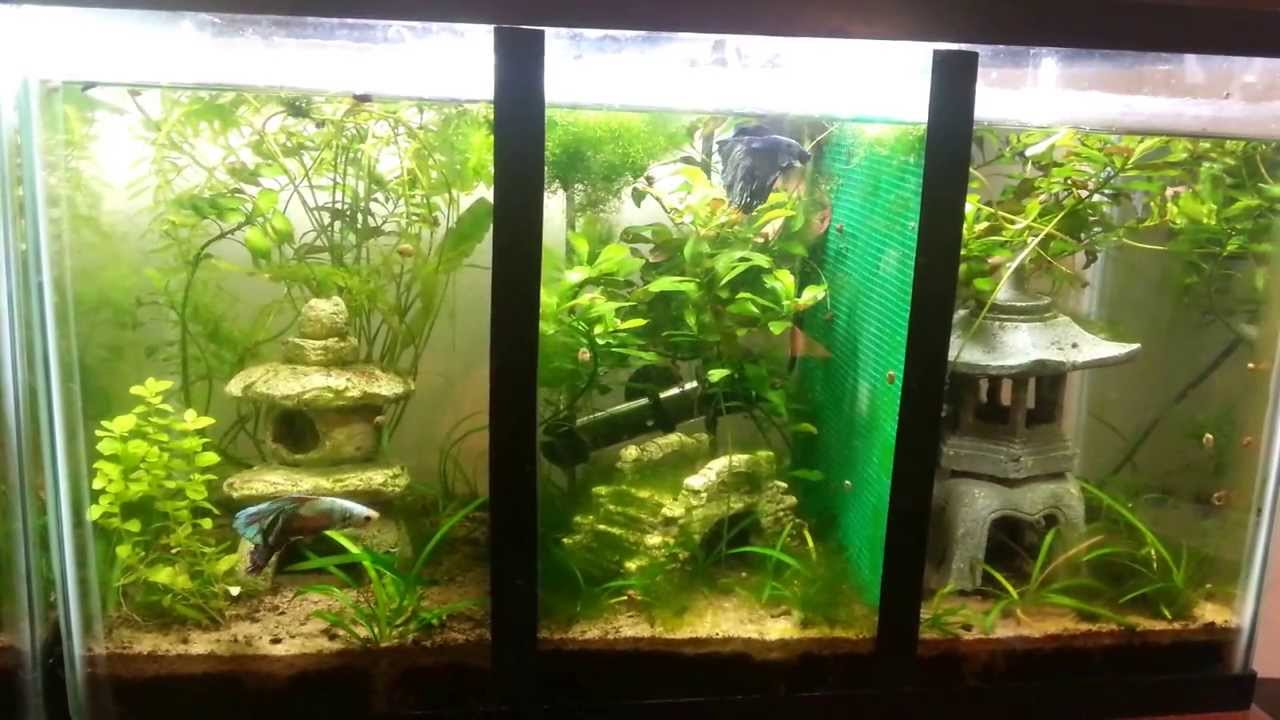 10 gallon divided betta tank youtube for Divided fish tank