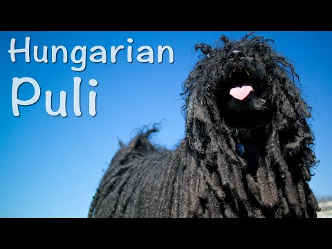 Hungarian Puli - The Mop Dog