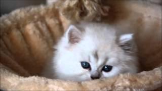 Котенок Олаф (британская серебристая шиншилла - ns 12)